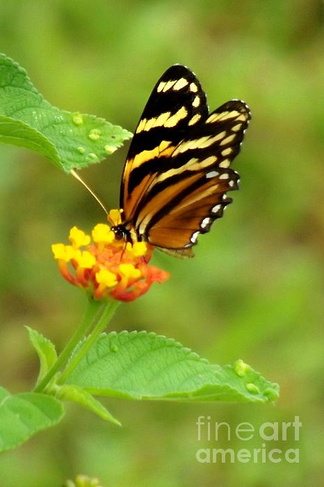 Butterfly Photograph - Speckled Landing by William Patterson