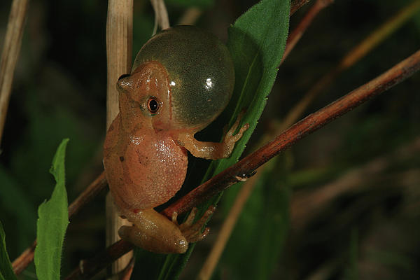 Frog Photograph - Spring Peeper by Bruce J Robinson