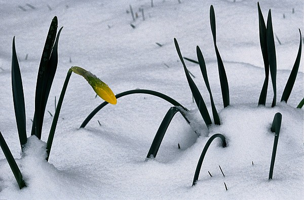 Shenandoah Valley Photograph - Spring Snow Coats The Daffodils by George F. Mobley