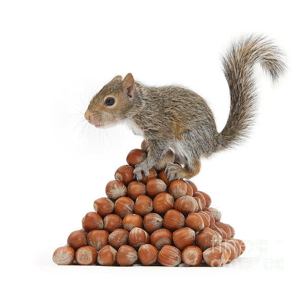 Nature Photograph - Squirrel And Nut Pyramid by Mark Taylor