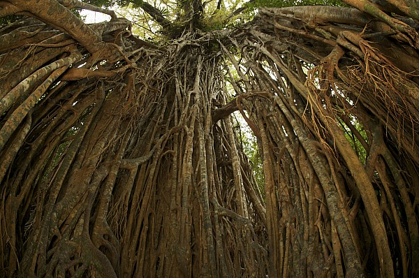 Day Photograph - Strangler Fig Tree, Ficus Virens, Known by Tim Laman