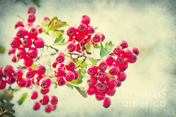 Vintage Photograph - Summer Berries by Angela Doelling AD DESIGN Photo and PhotoArt