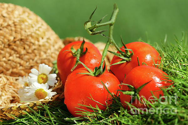 Agriculture Photograph - Summer Tomatoes by Sandra Cunningham