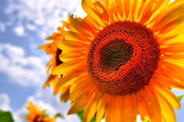 Sunflower Photograph - Sunflower Attack by Emily Stauring