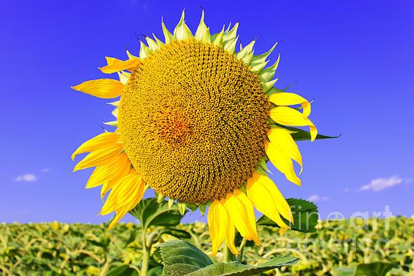 Sunflower Photograph - Sunflower Head by Volodymyr Chaban