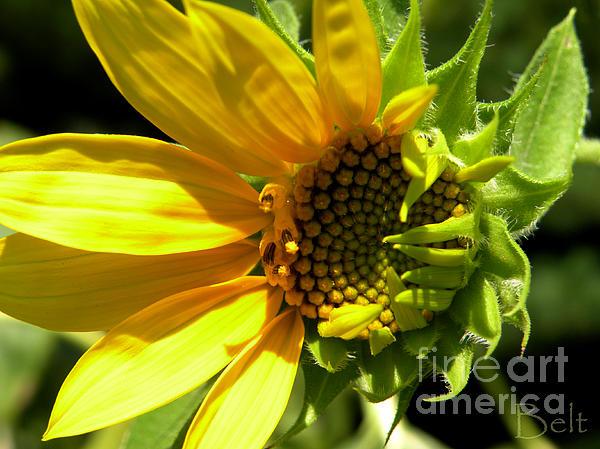 Sunflower Photograph - Sunflower No. 1 by Christine Belt