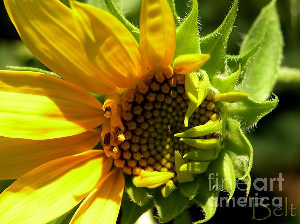 Sunflower Photograph - Sunflower No. 2 by Christine Belt