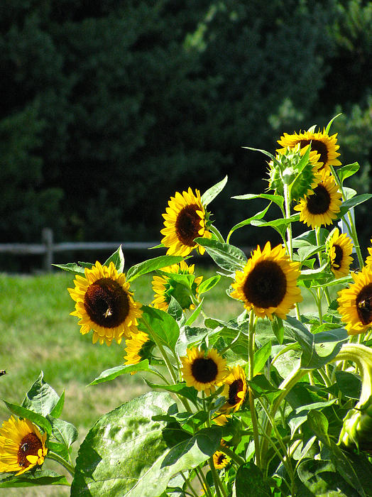 Sunflower Patch Photograph - Sunflower Patch by Debra     Vatalaro