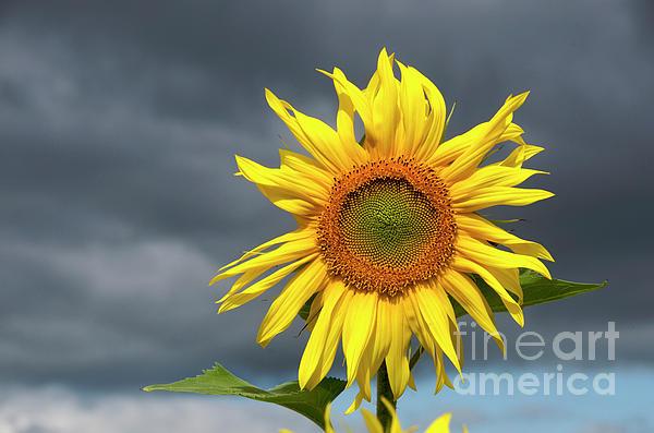 Outdoors Photograph - Sunflowers Helianthus Annuus by Bernard Jaubert