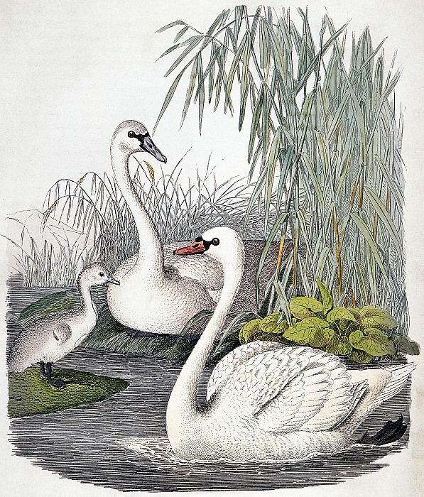 1850 Photograph - Swans, C1850 by Granger