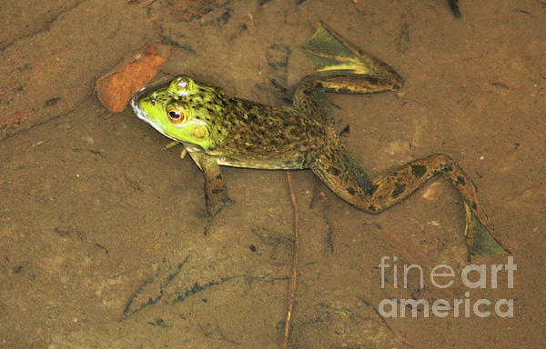 Frog Photograph - Swimming Frog by Nick Gustafson