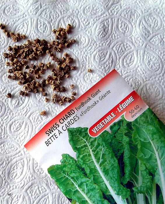 Swiss Chard Seeds Photograph - Swiss Chard Seeds by Will Borden