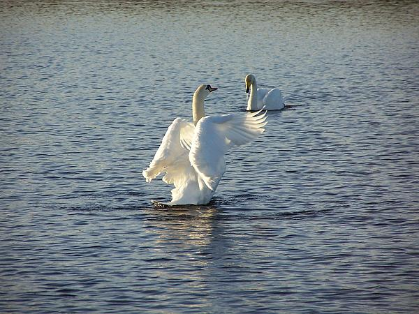 Swan Photograph - Tall Swan by George Leask
