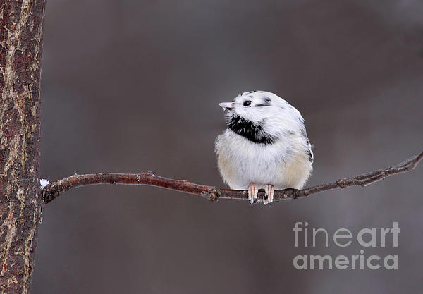 Leucistic Photograph - Teeny Tiny Branch by Gary  Fairhead