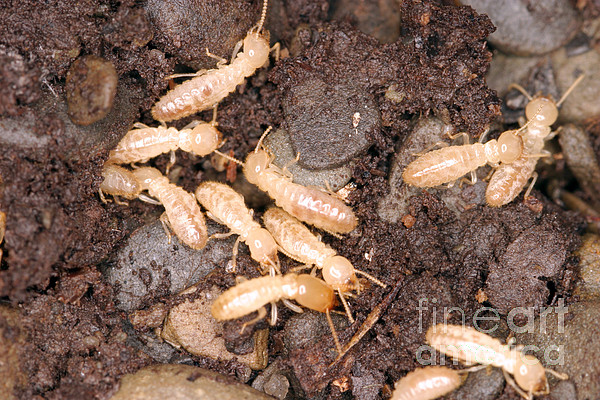 Animal Photograph - Termite Nest Reticulitermes Flavipes by Ted Kinsman