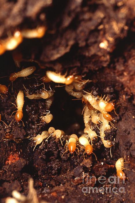 Formosan Termite Photograph - Termite Nest by Science Source
