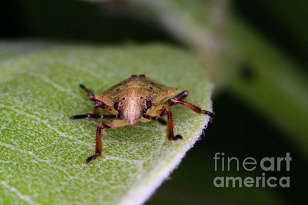 Terrestrial Turtle Bug Photograph - Terrestrial Turtle Bug by Ted Kinsman
