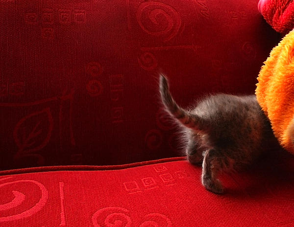 Forgetful Photograph - The Absent-minded Kitten by Barbara  White