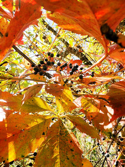 Leaves Photograph - The Beauty In Dying by Trish Hale