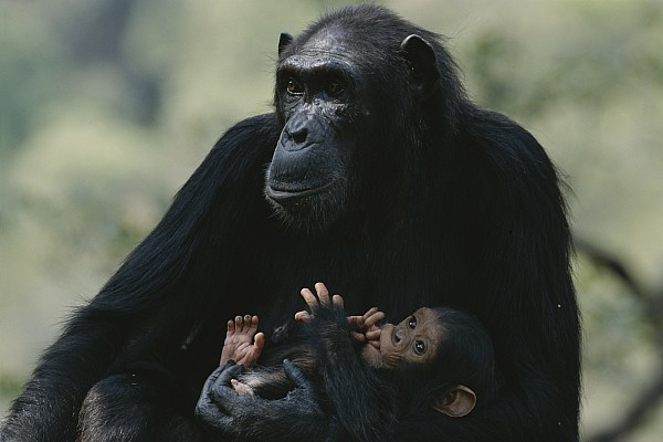 Africa Photograph - The Chimpanzee Rafiki With Her Twins by Michael Nichols
