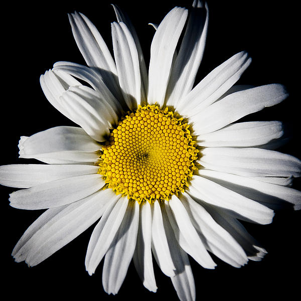 Daisy Photograph - The Daisy by David Patterson