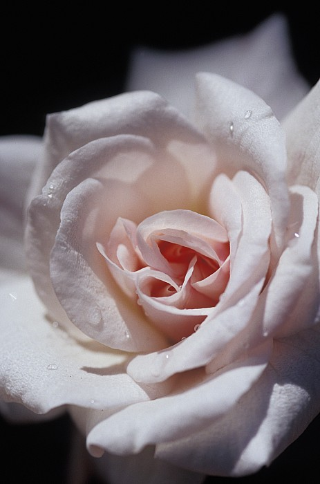 Dainty Photograph - The Delicate Pale Pink Petals by Jason Edwards
