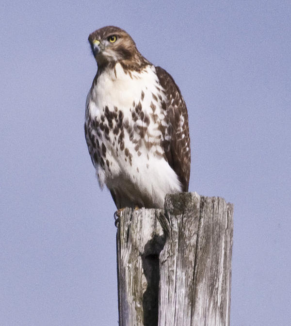 Hawk Photograph - The Hawk by Valerie Wolf
