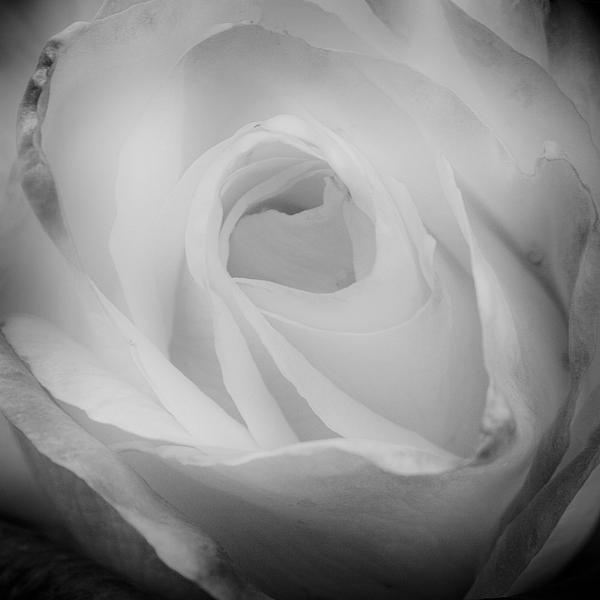 Rose Photograph - The Princess Diana Rose IIi by David Patterson