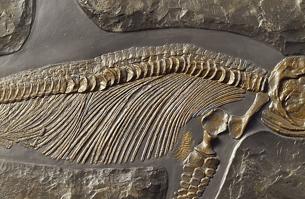Springvale Photograph - The Ribs And Spine Of Ichthyosaur by Jason Edwards