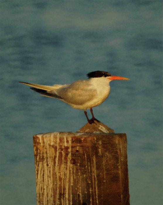Tern Photograph - The Tern by Ernie Echols