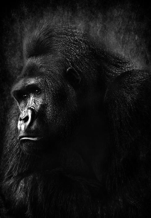 Gorilla Photograph - The Thinker by Lee-Anne Rafferty-Evans