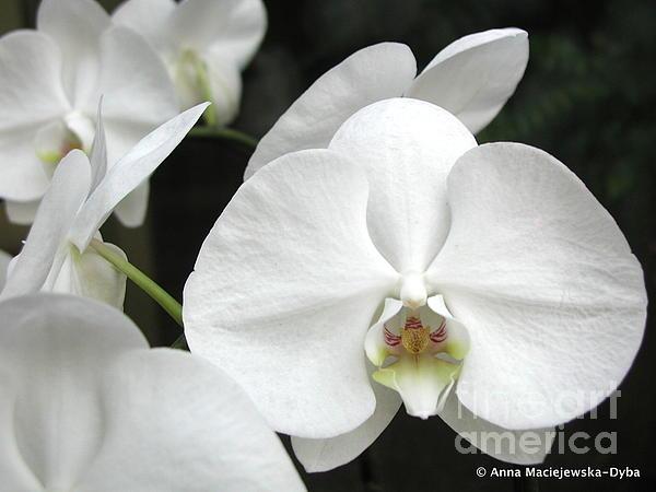 Orchids Painting - The Whiter Shade Of... by Anna Folkartanna Maciejewska-Dyba