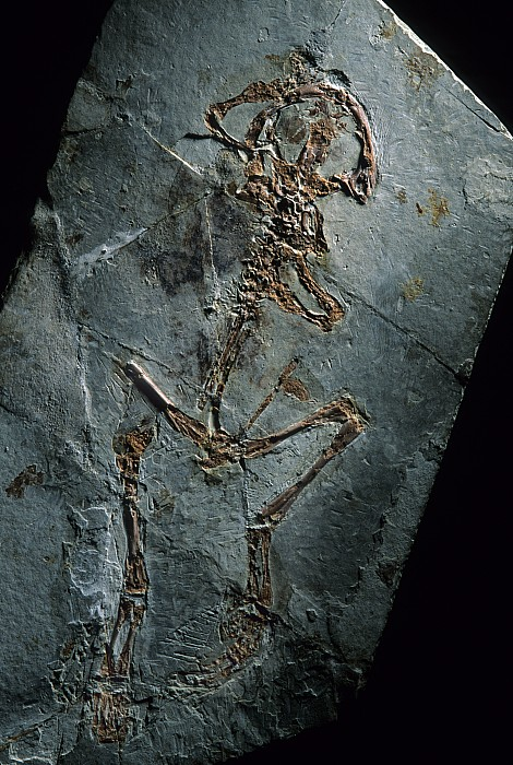Frog Photograph - This 124 Million Year Old Frog Fossil by O. Louis Mazzatenta