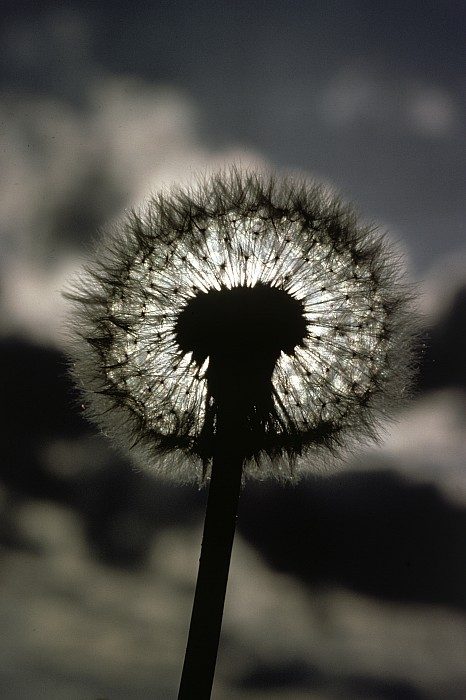 Dandelions Photograph - Thoreau Called A Dandelion A Complete by Farrell Grehan