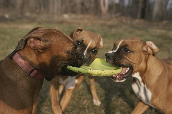 Toys Photograph - Three Boxer Dogs Play Tug-of-war by Roy Gumpel