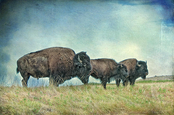 Bison Photograph - Three In A Row by Tamyra Ayles