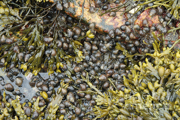 Maine Coast Photograph - Tidal Pool With Rockweed by Ted Kinsman