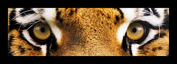 Eyes Photograph - Tiger Eyes by Sumit Mehndiratta