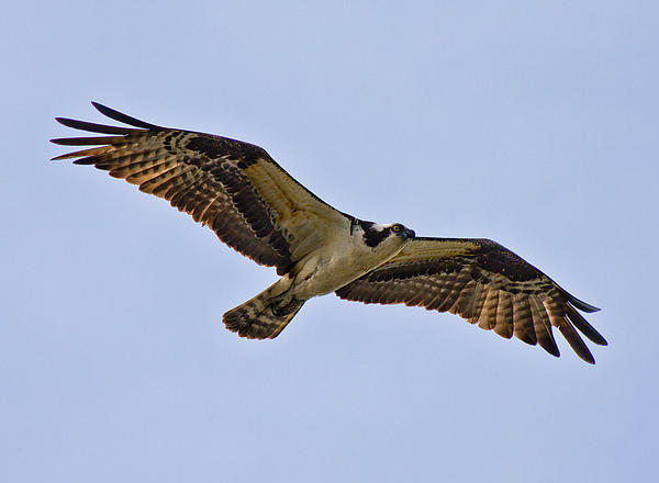Topsail Photograph - Topsail Osprey by Betsy Knapp