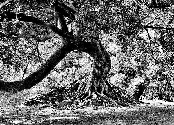 Tree Photograph - Tree Of Life - Bw by Kenneth Mucke