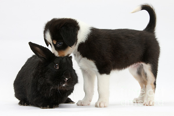 Tricolor Border Collie Pup Photograph - Tricolor Border Collie Pup With Black by Mark Taylor
