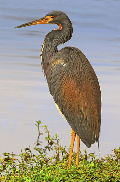 Tricolor Heron Photograph - Tricolor Heron by Dave Mills
