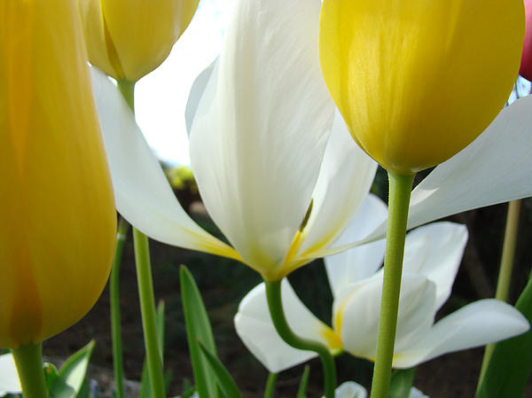 Tulip Photograph - Tulip Flowers Art Prints Yellow White Tulips Floral by Baslee Troutman