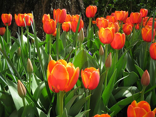 Flowers Photograph - Tulip Time by Margaret Hodgson