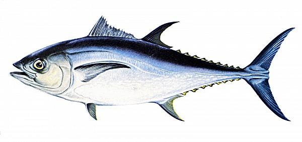 Biology Photograph - Tuna by Granger