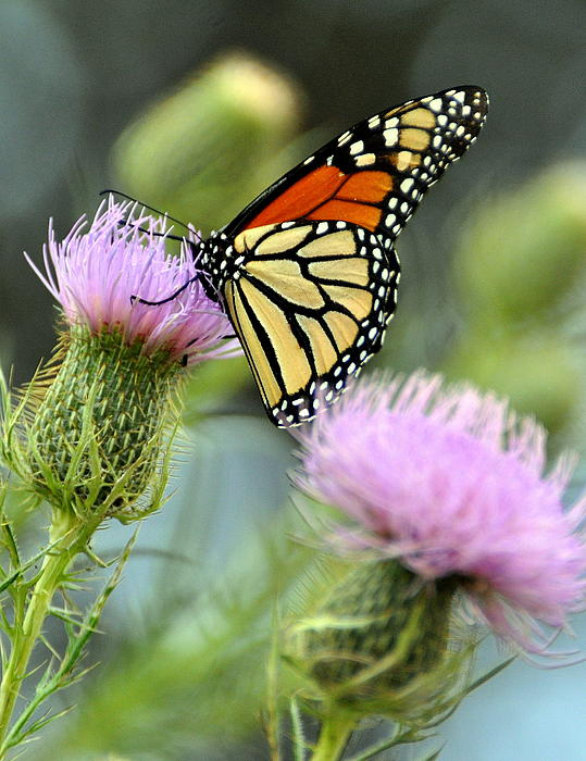 Butterfly Photograph - Twin Thistle Butterfly by Marty Koch