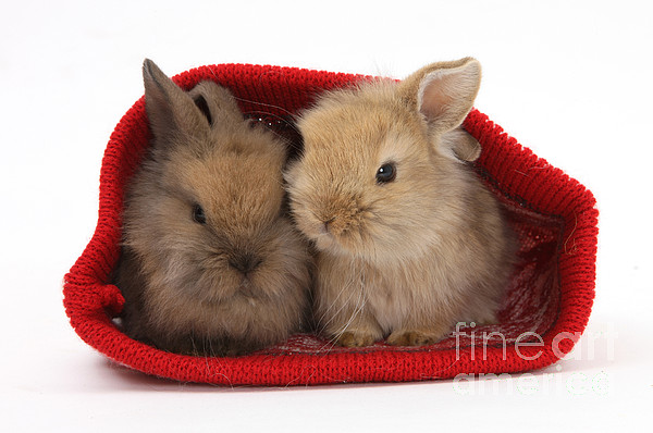 Nature Photograph - Two Baby Lionhead-cross Rabbits by Mark Taylor
