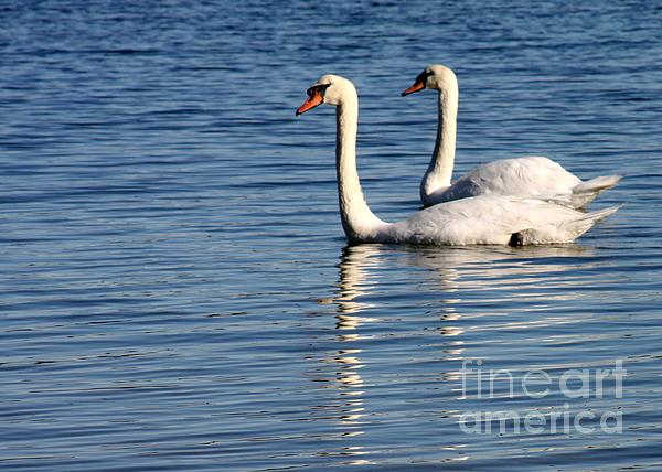 Swans Photograph - Two Beautiful Swans by Sabrina L Ryan