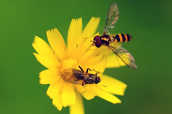 Day Photograph - Two Flies Pollinate A Yellow Flower by Darlyne A. Murawski