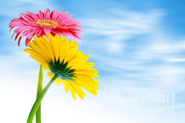 Background Photograph - Two Gerberas by Carlos Caetano